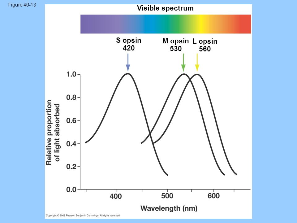 Figure 46-13 Visible spectrum S opsin 420 M opsin 530 L opsin 560 61