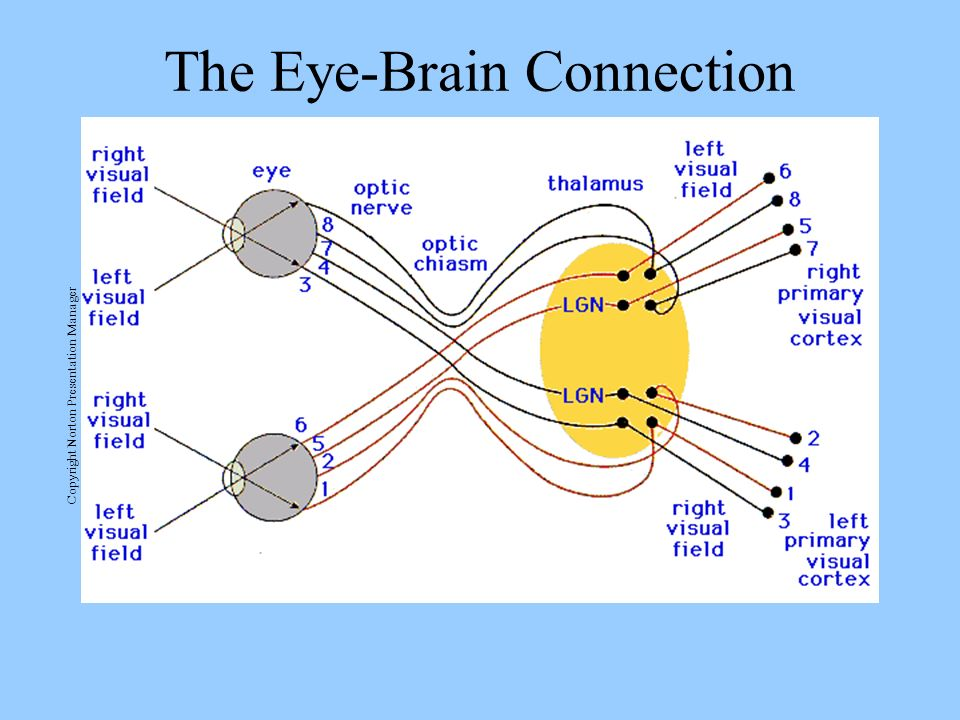 The Eye-Brain Connection