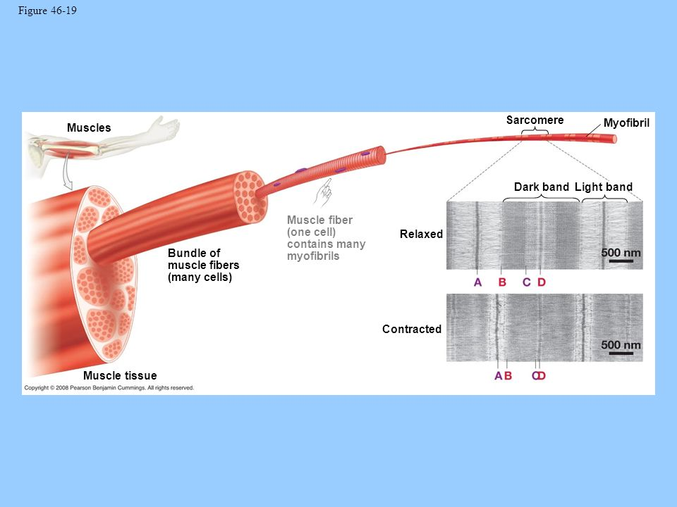 Figure 46-19 Sarcomere. Myofibril. Muscles. Dark band. Light band. Muscle fiber (one cell) contains many myofibrils.