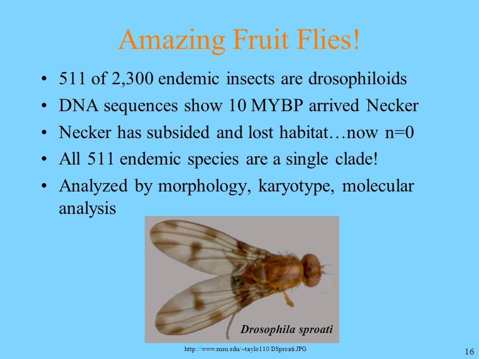 Amazing Fruit Flies! 511 of 2,300 endemic insects are drosophiloids