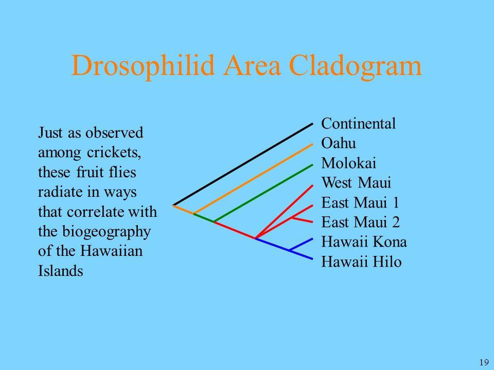 Drosophilid Area Cladogram