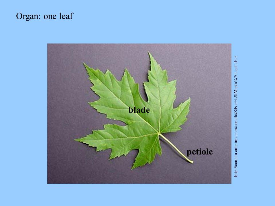 Organ: one leaf blade petiole
