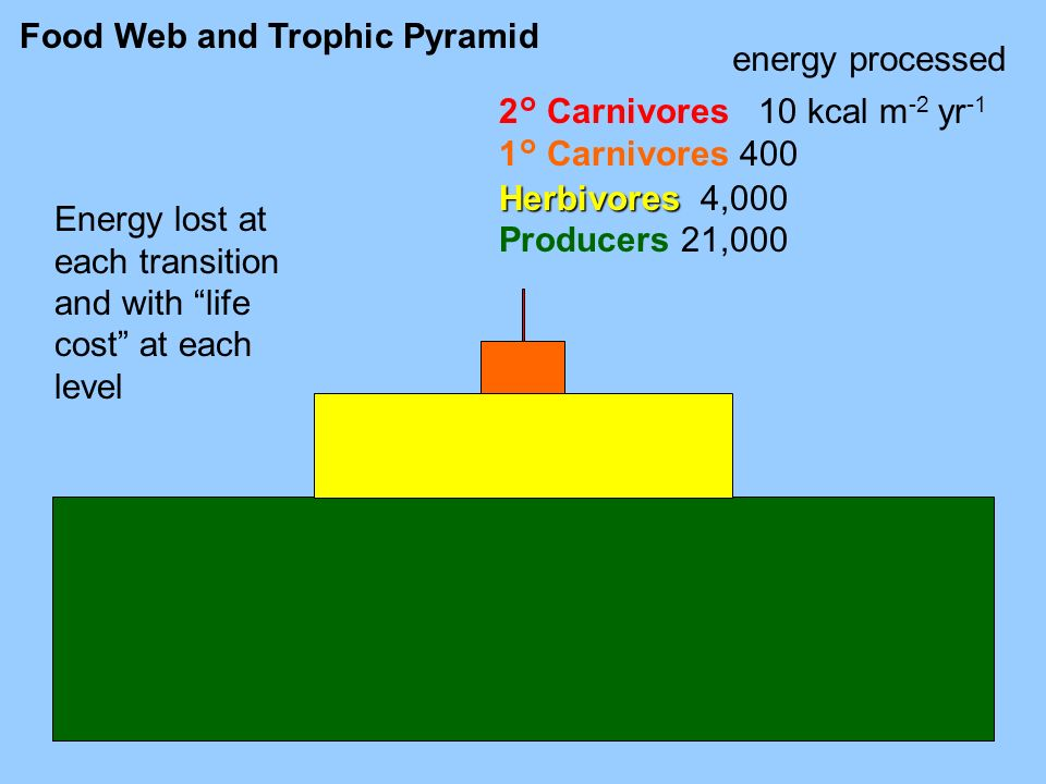Food Web and Trophic Pyramid