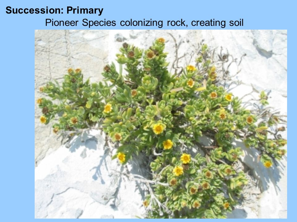 Succession: Primary Pioneer Species colonizing rock, creating soil