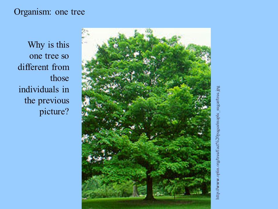 Organism: one tree Why is this one tree so different from those individuals in the previous picture