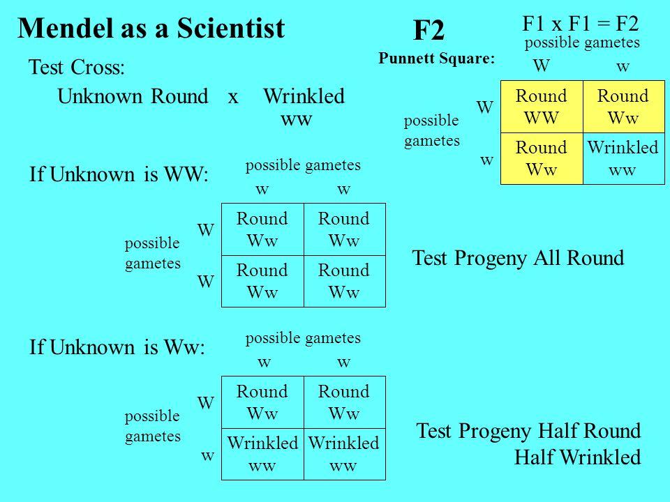 Mendel as a Scientist F2 F1 x F1 = F2 Test Cross: Unknown Round x
