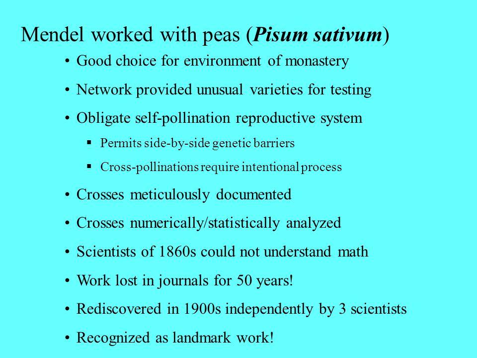 Mendel worked with peas (Pisum sativum)