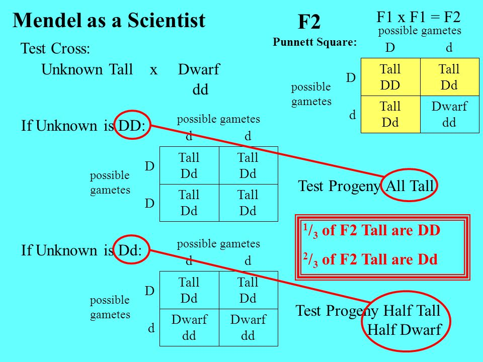 Mendel as a Scientist F2 F1 x F1 = F2 Test Cross: Unknown Tall x Dwarf