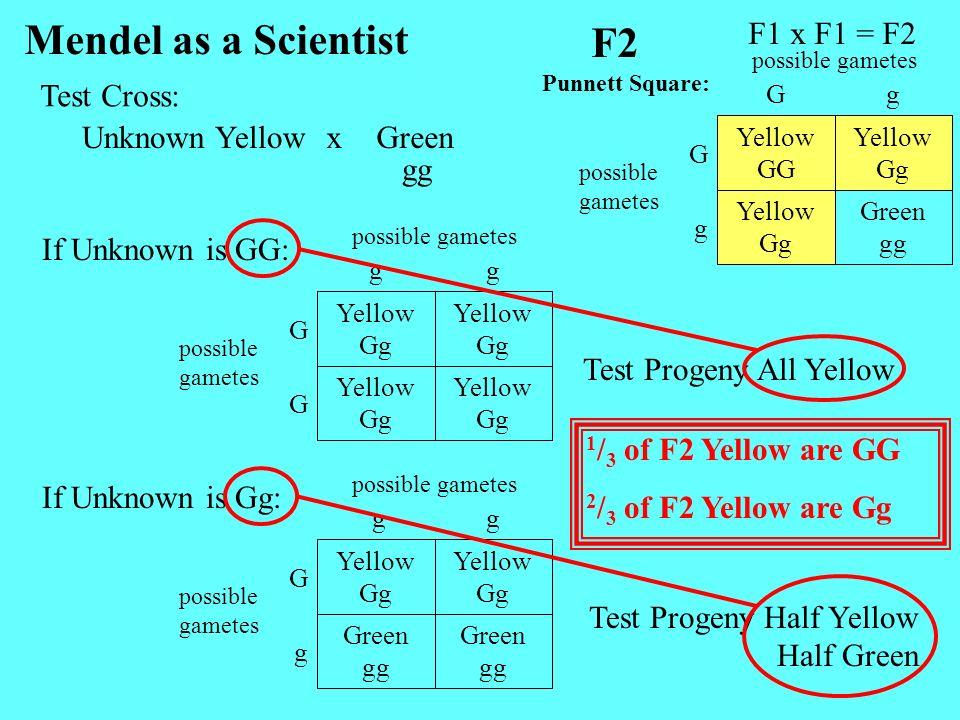 Mendel as a Scientist F2 F1 x F1 = F2 Test Cross: Unknown Yellow x