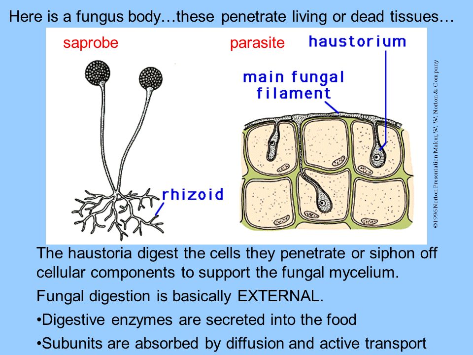 Here is a fungus body…these penetrate living or dead tissues…