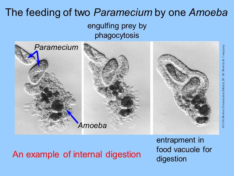 engulfing prey by phagocytosis