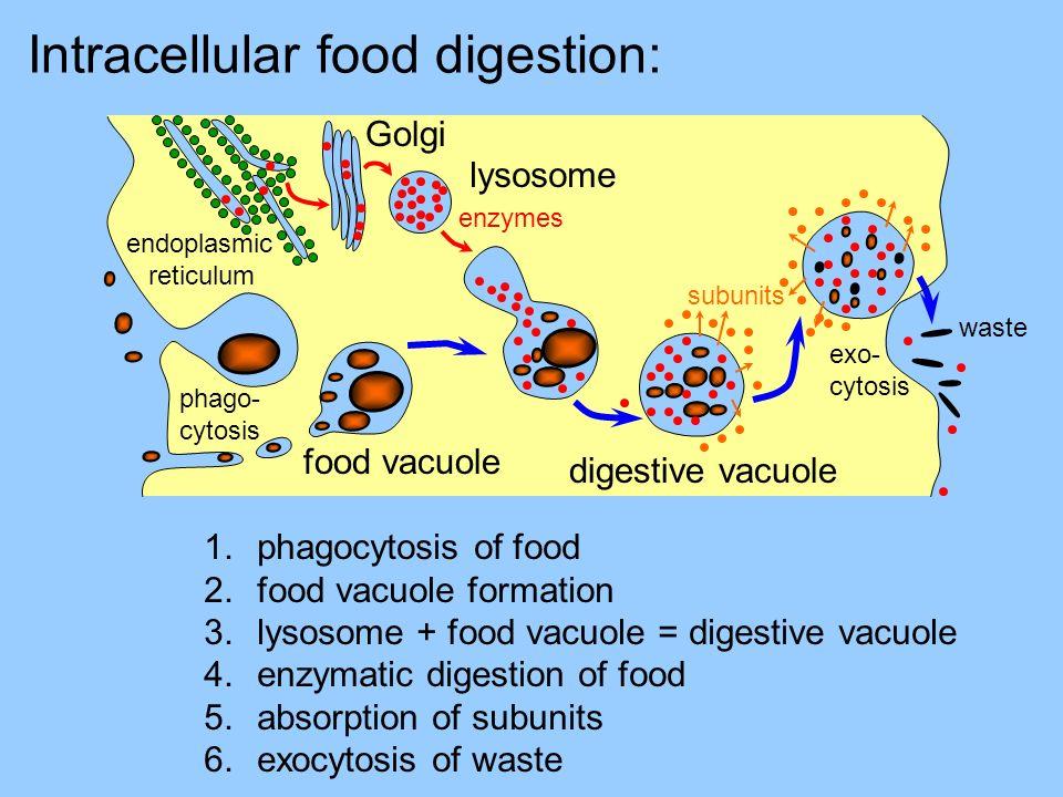 Intracellular food digestion: