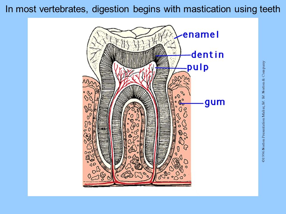 In most vertebrates, digestion begins with mastication using teeth