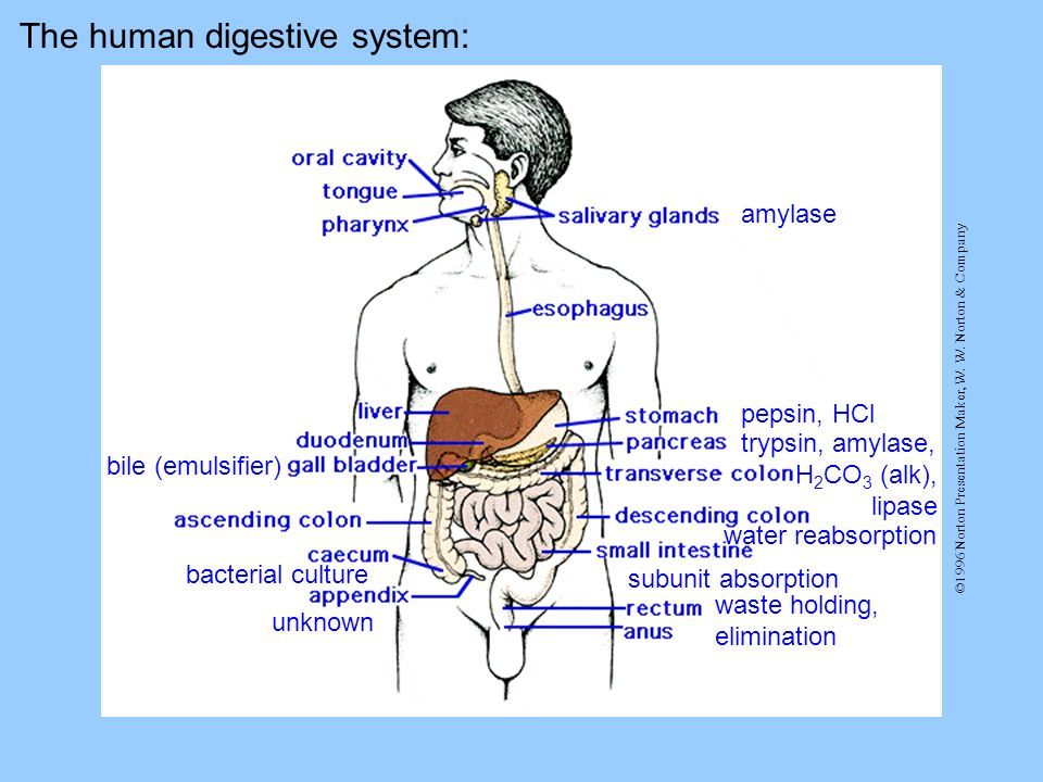 The human digestive system: