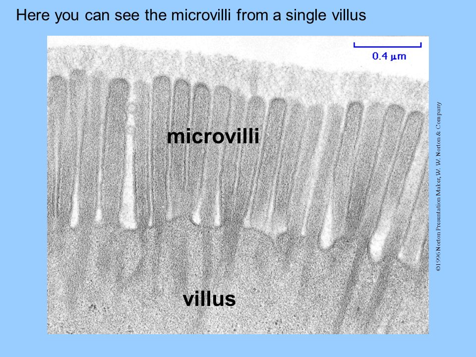 microvilli villus Here you can see the microvilli from a single villus
