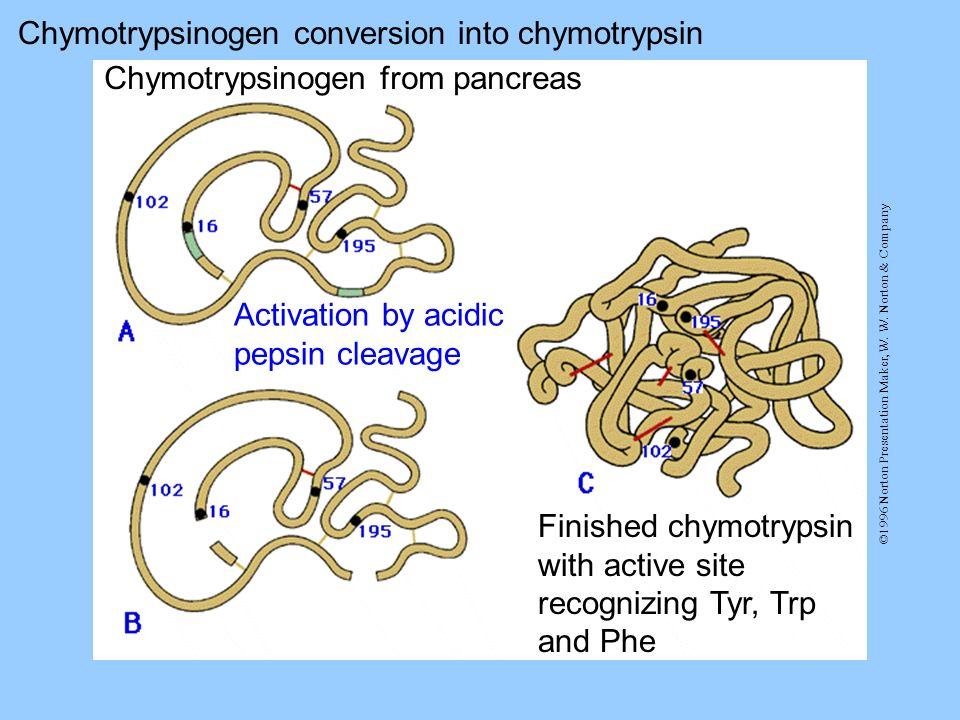 Chymotrypsinogen conversion into chymotrypsin