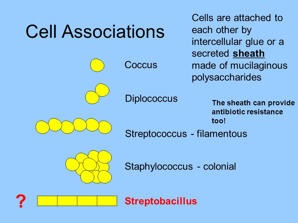 Cells are attached to each other by intercellular glue or a secreted sheath made of mucilaginous polysaccharides