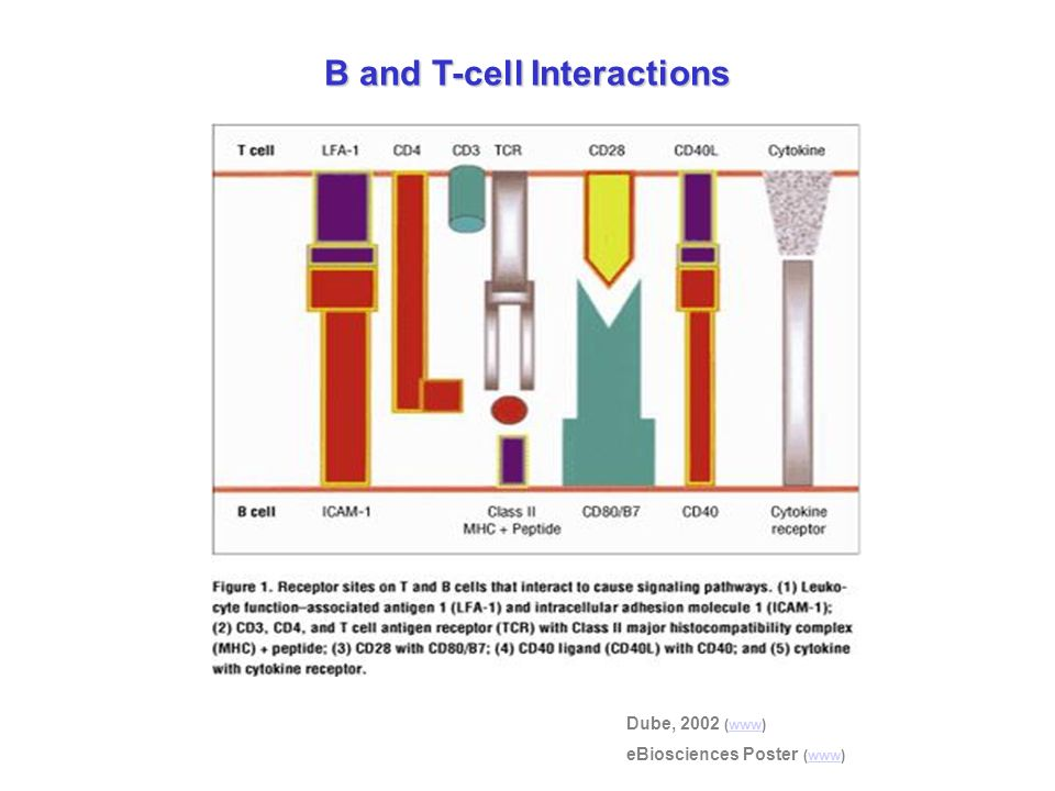 B and T-cell Interactions