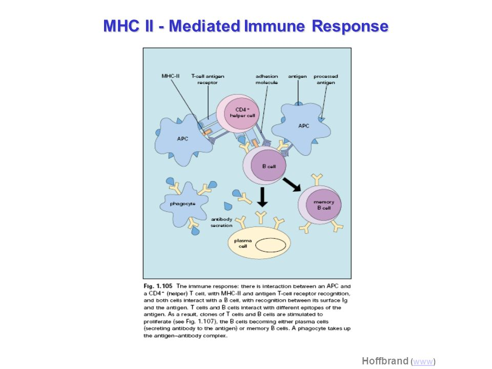 MHC II - Mediated Immune Response
