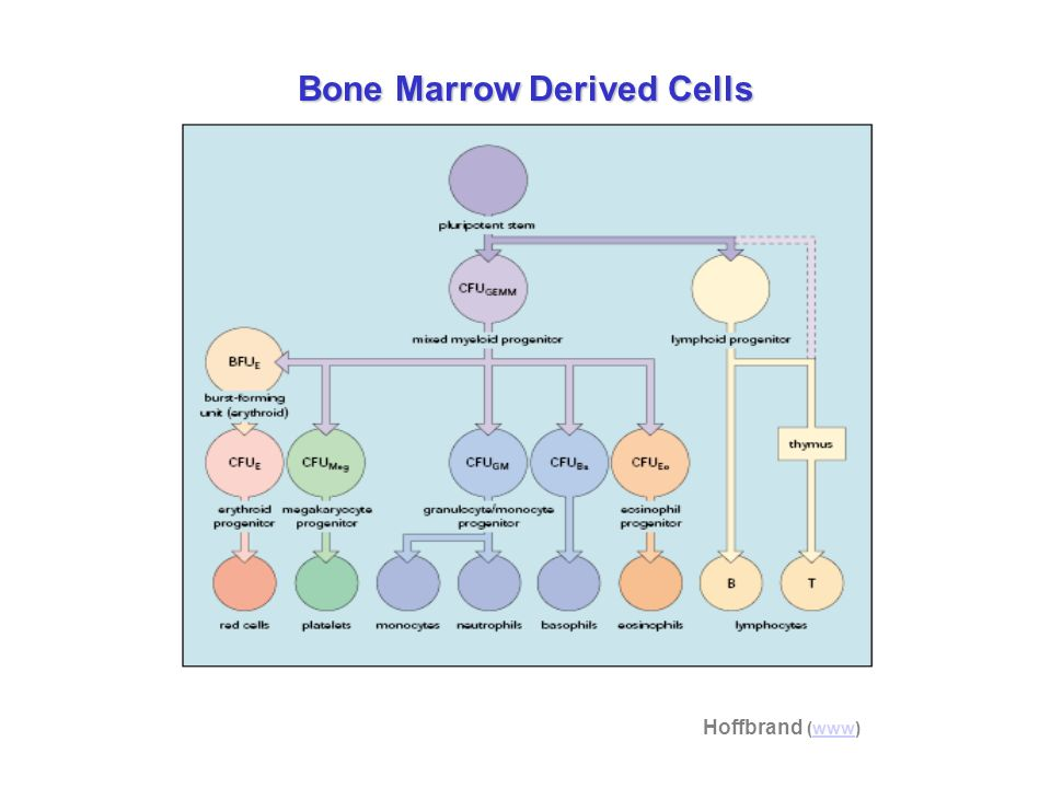 Bone Marrow Derived Cells