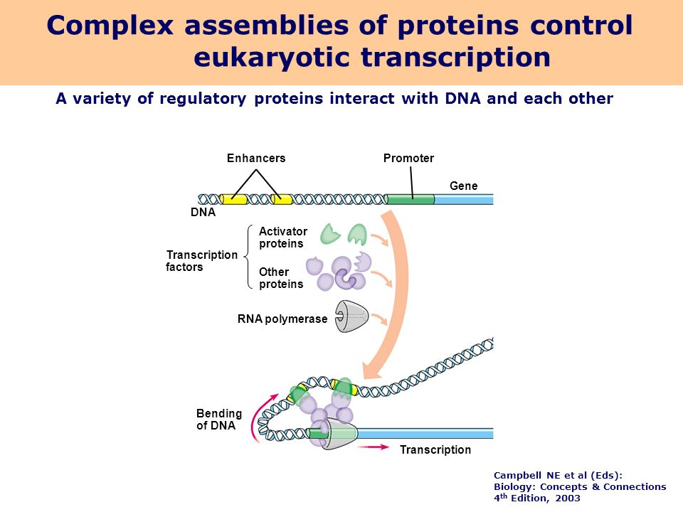 Complex assemblies of proteins control eukaryotic transcription