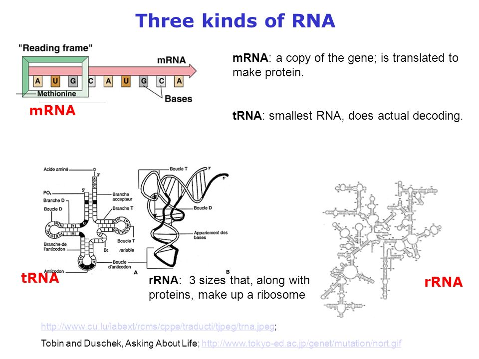 Three kinds of RNA mRNA tRNA rRNA