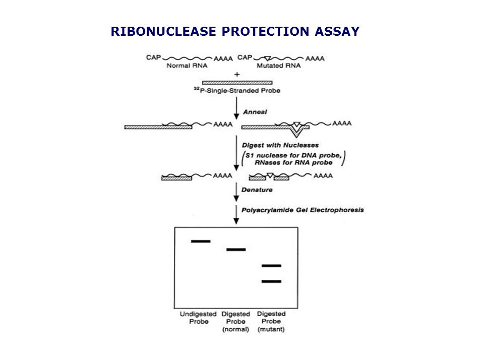 RIBONUCLEASE PROTECTION ASSAY