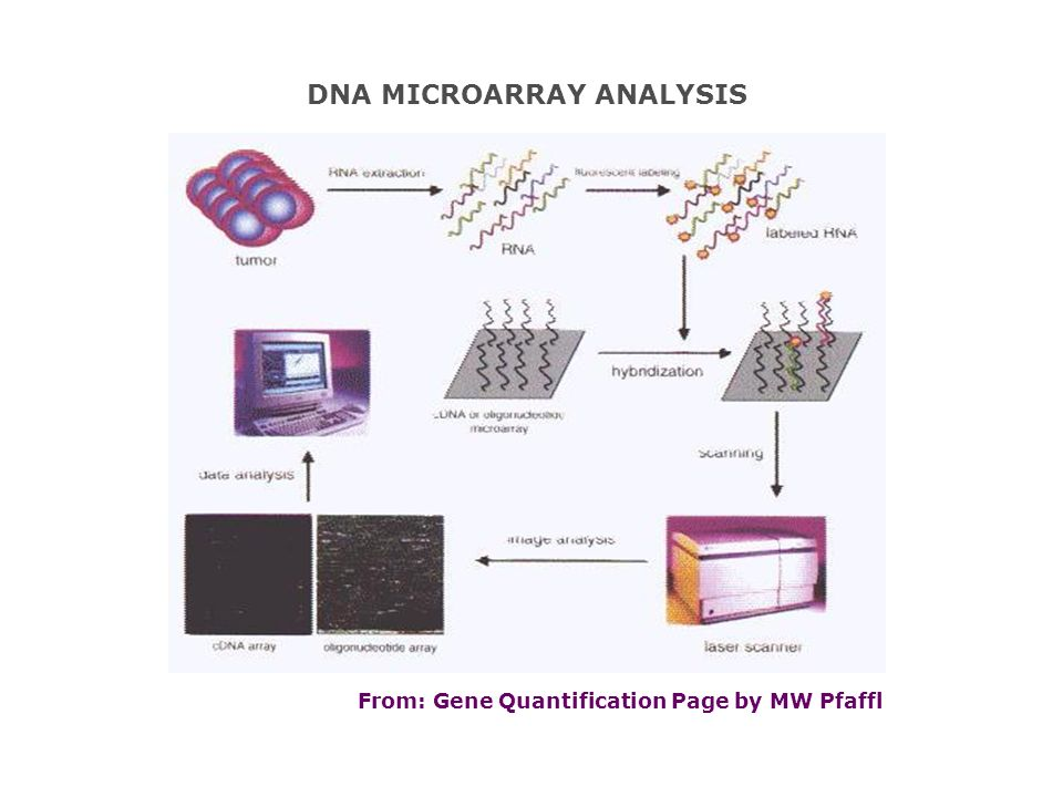 DNA MICROARRAY ANALYSIS From: Gene Quantification Page by MW Pfaffl
