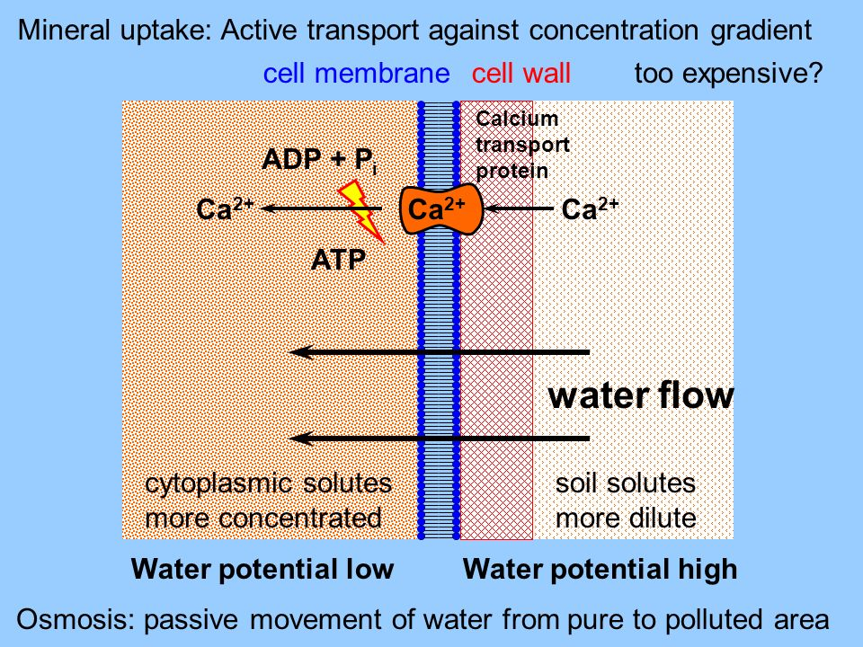 Mineral uptake: Active transport against concentration gradient