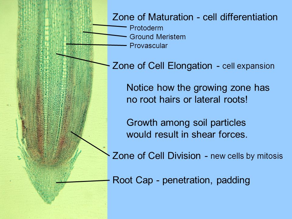 Zone of Maturation - cell differentiation