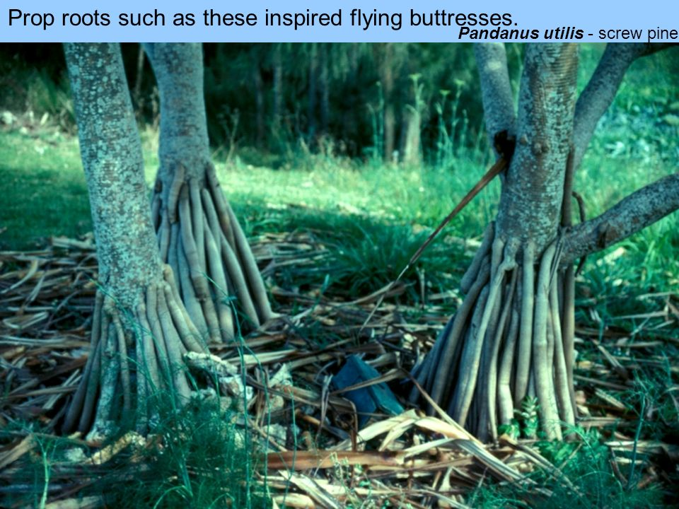 Prop roots such as these inspired flying buttresses.