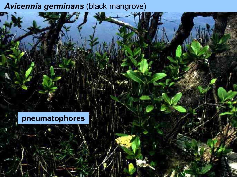Avicennia germinans (black mangrove)