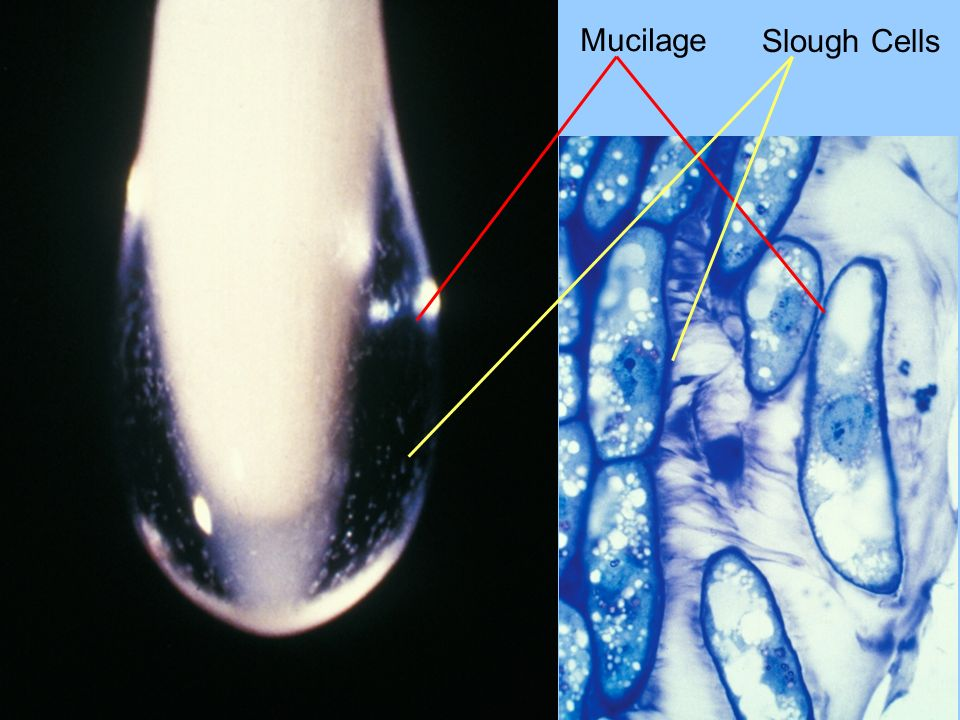 Slough Cells Mucilage
