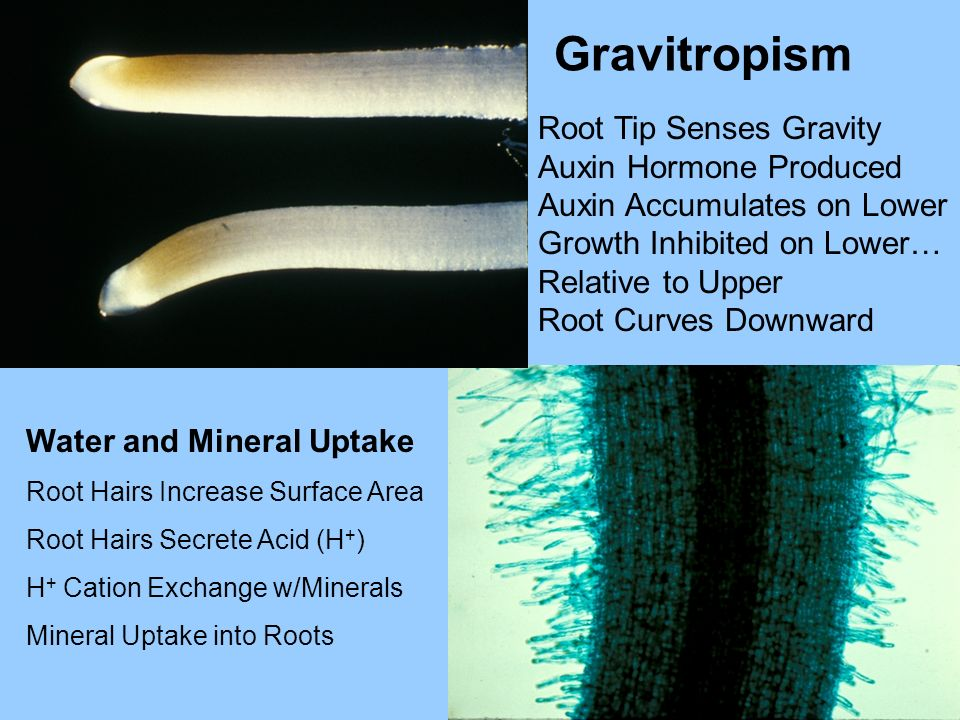Gravitropism Root Tip Senses Gravity Auxin Hormone Produced