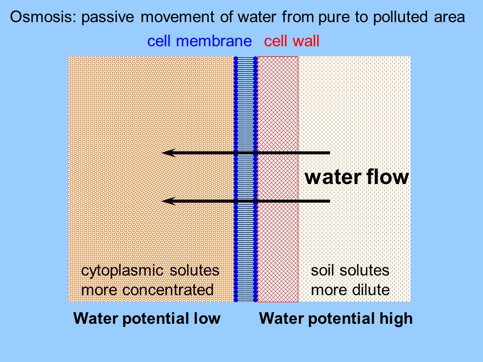 Osmosis: passive movement of water from pure to polluted area