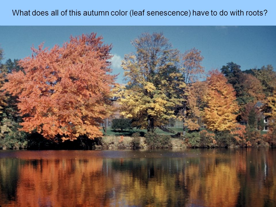 What does all of this autumn color (leaf senescence) have to do with roots