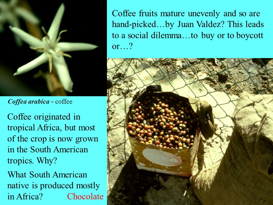 What South American native is produced mostly in Africa