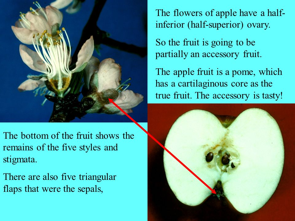 The flowers of apple have a half-inferior (half-superior) ovary.