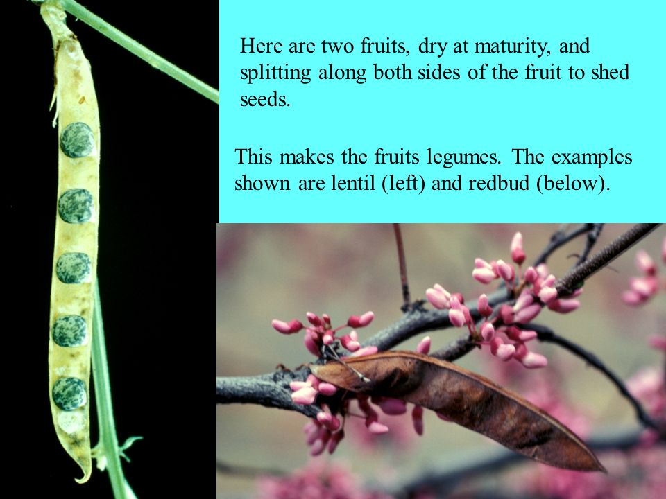 Here are two fruits, dry at maturity, and splitting along both sides of the fruit to shed seeds.