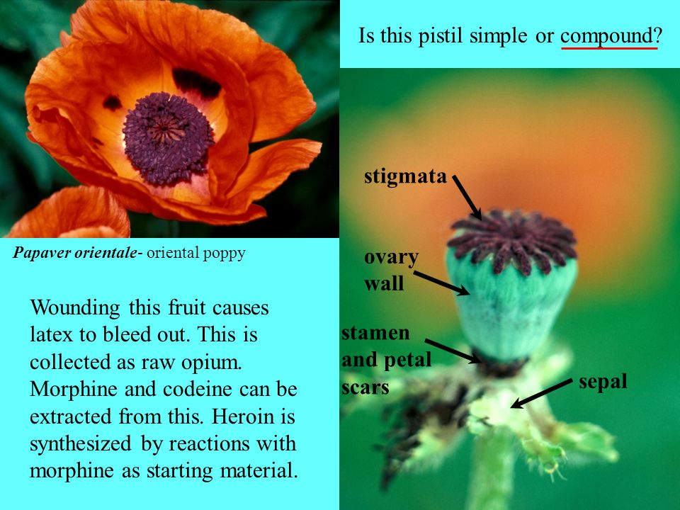 Is this pistil simple or compound
