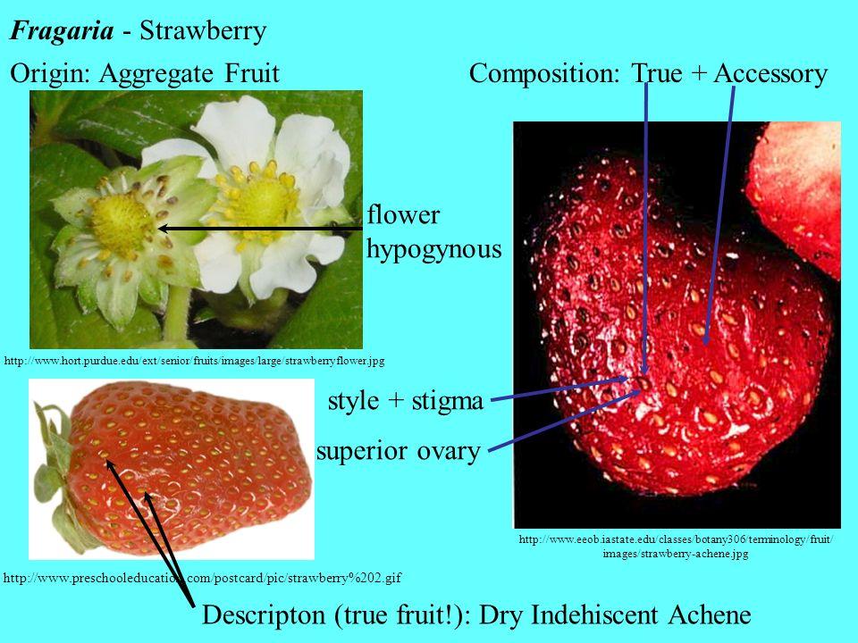 Origin: Aggregate Fruit Composition: True + Accessory
