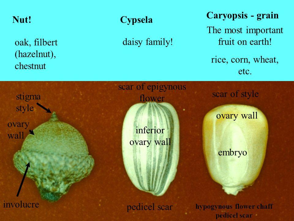 hypogynous flower chaff