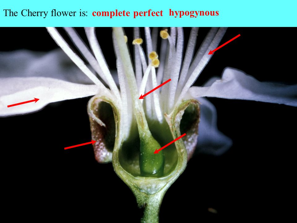 The Cherry flower is: complete perfect hypogynous