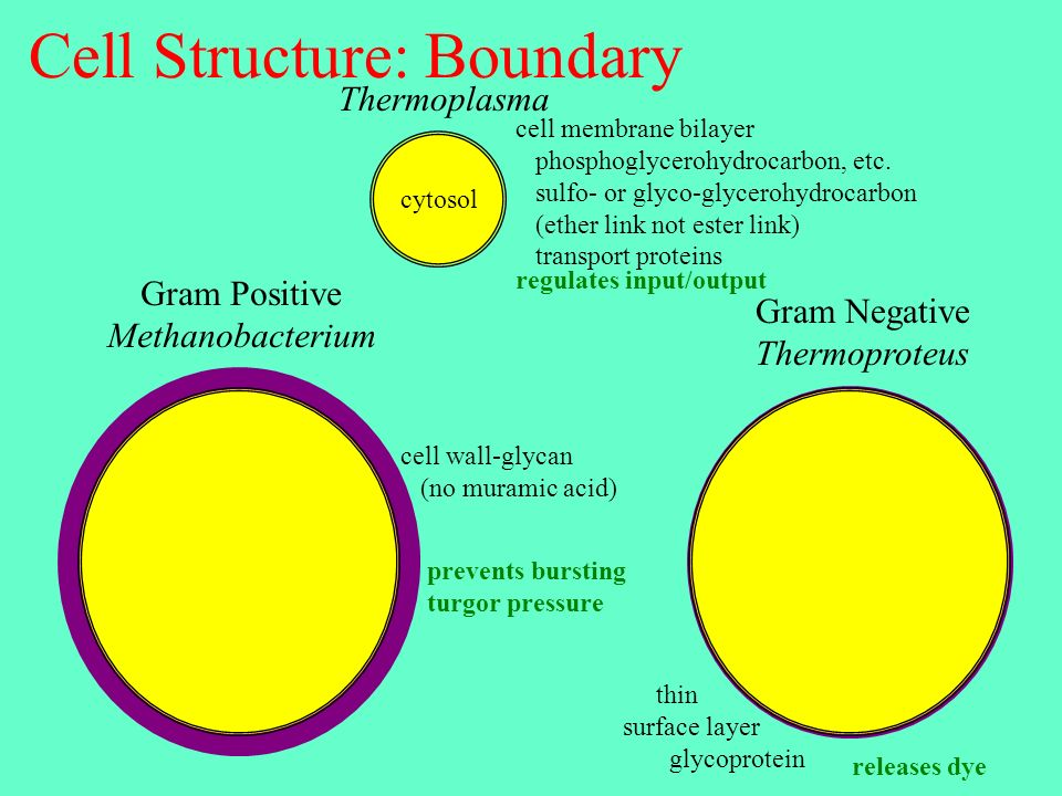 Cell Structure: Boundary