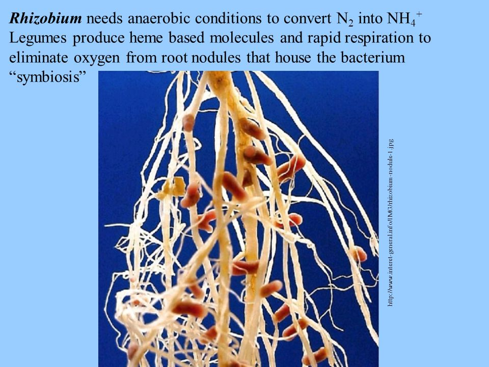 Rhizobium needs anaerobic conditions to convert N2 into NH4+