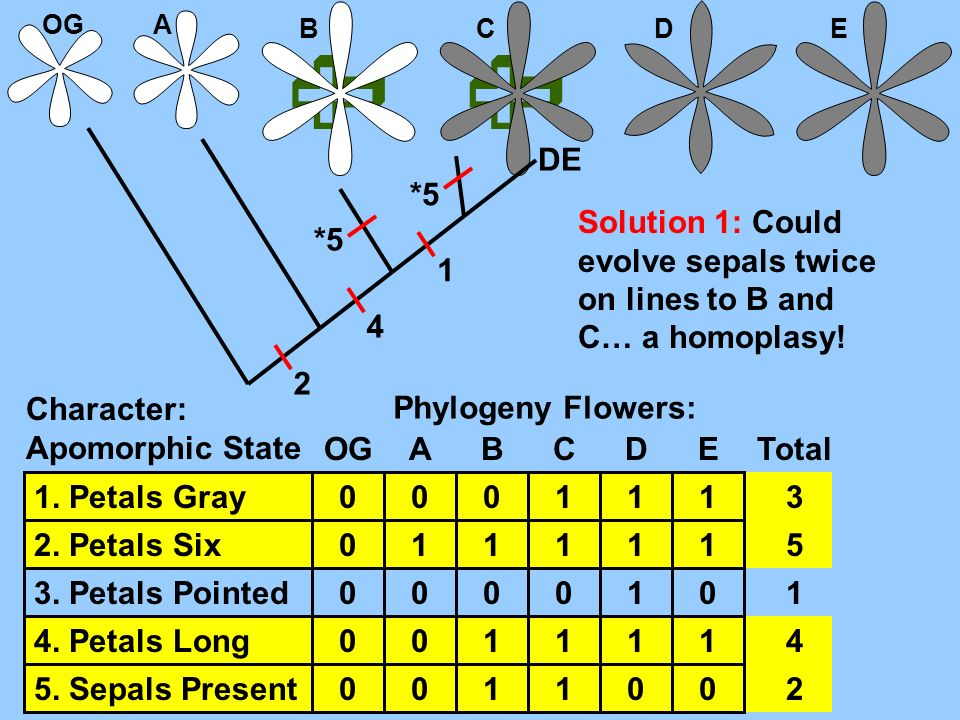 OG A.  B.  C. D. E. DE. *5. Solution 1: Could evolve sepals twice on lines to B and C… a homoplasy!