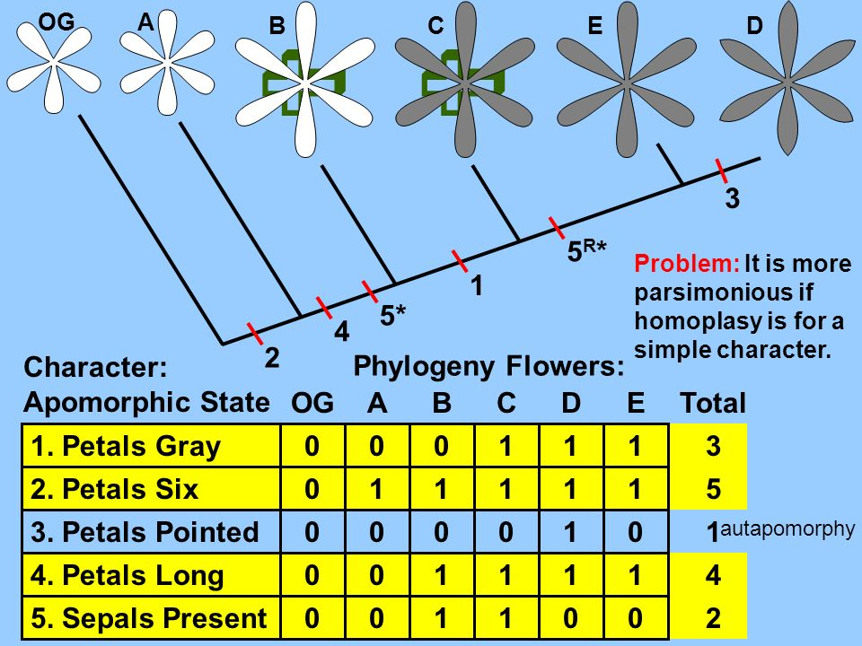   3 5R* 1 5* 4 2 Character: Apomorphic State Phylogeny Flowers: OG A
