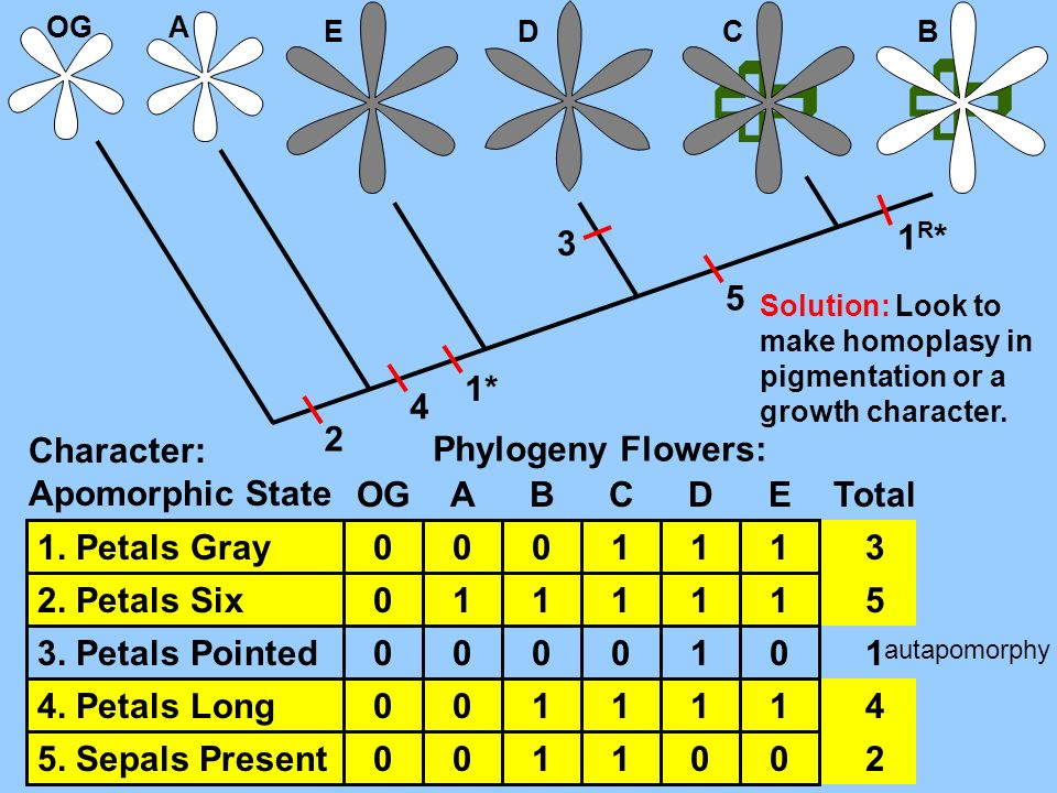   3 1R* 5 1* 4 2 Character: Apomorphic State Phylogeny Flowers: OG A