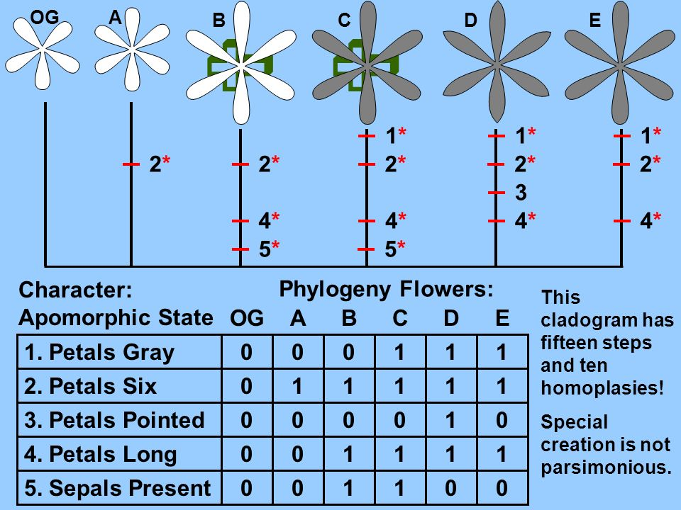   1* 2* 3 4* 5* Character: Apomorphic State Phylogeny Flowers: OG A