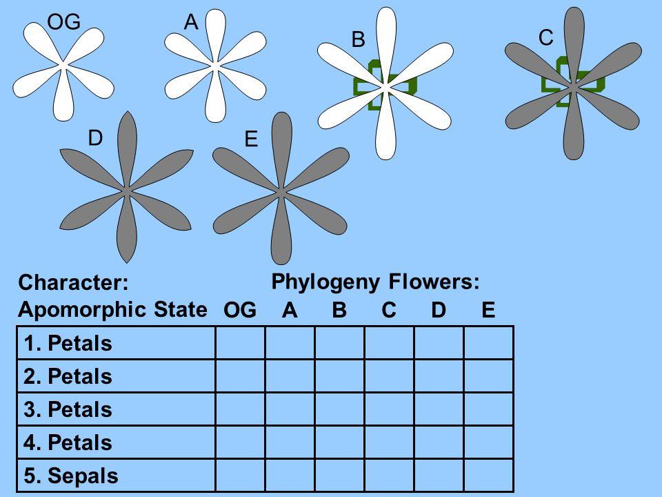   OG A B C D E Character: Apomorphic State Phylogeny Flowers: OG A B